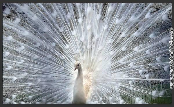 albino zeka