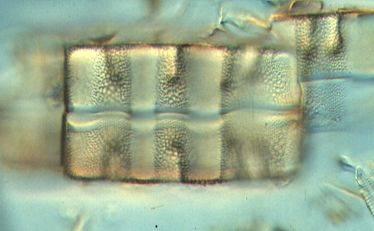 diatom3-2.jpg