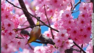 Photo of Kiraz Çiçeği ve Bütünsel Dikkat
