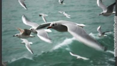 Photo of Martı Güzeli   Seagull Beauty