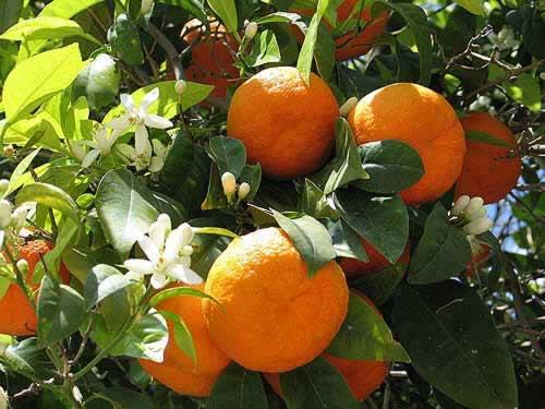 portakaltarsus Tarsus'ta / Sulu bir portakal. / İçi dağ kaynaklarıyla beslenmiş / Gök, güneş, / Rüzgarla okşanmış Bin kez, / Narin elli genç kızlar / Toplamış. Tarsus'ta / Sulu bir portakal. / İçi dağ kaynaklarıyla beslenmiş / Gök, güneş, / Rüzgarla okşanmış Bin kez, / Narin elli genç kızlar / Toplamış.